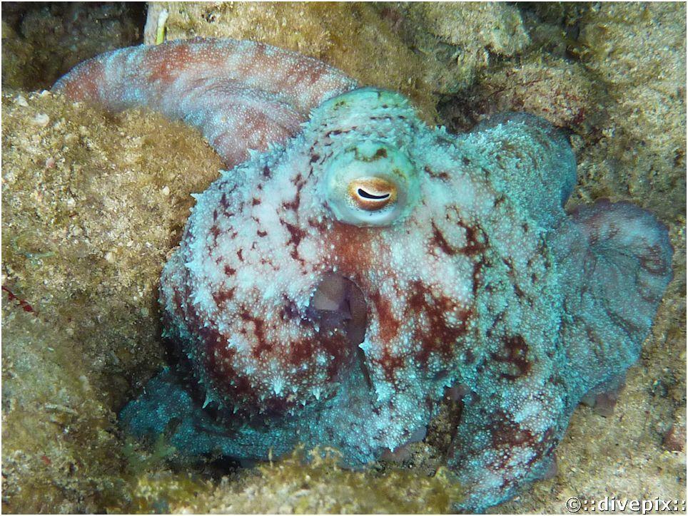 divepix - Caribbean Reef Octopus