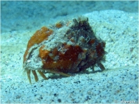 Rough Box Crab
