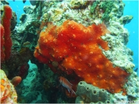 Orange Sieve Encrusting Sponge spp