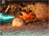 Flaming Reef Lobster