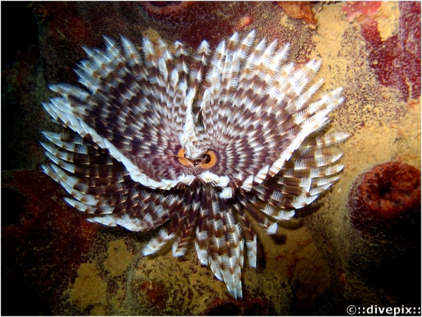 Magnificent Banded Fanworm