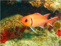 Blackbar Soldierfish