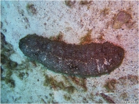 Harlequin Sea Cucumber