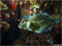 Buffalo Trunkfish
